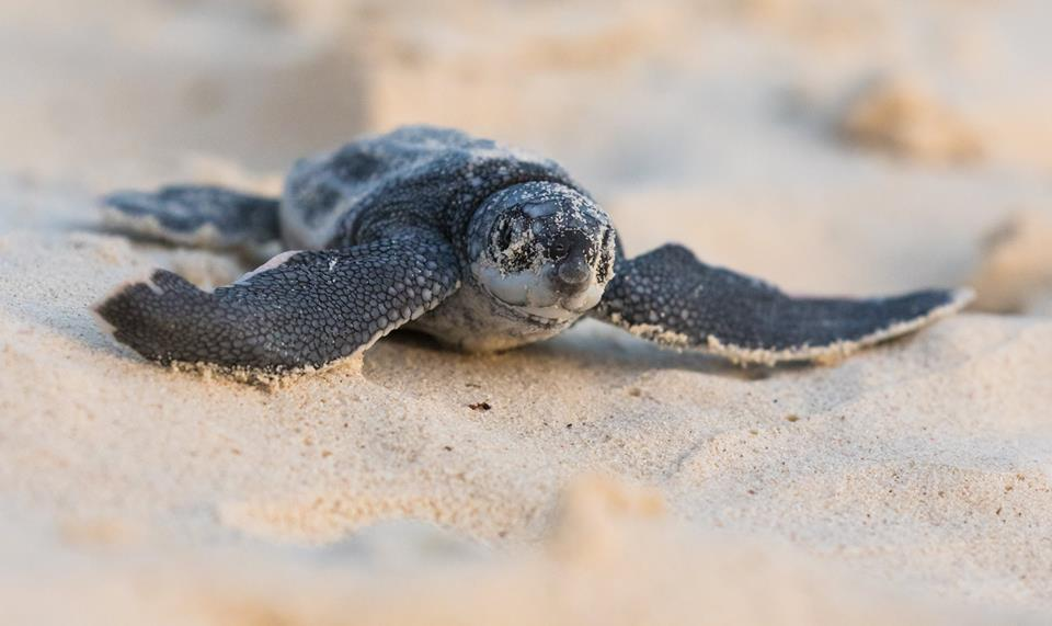 Sea Turtles: Aruba's Earliest Visitors