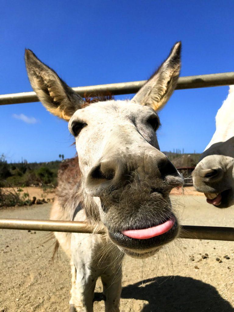 donkey-aruba-san-nicolas-visitaruba