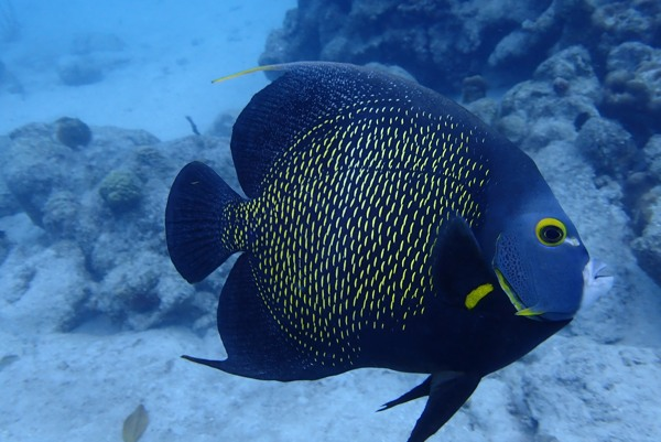 French-Angelfish-at-mangel-halto-photo-by-happy-divers-aruba-visitaruba