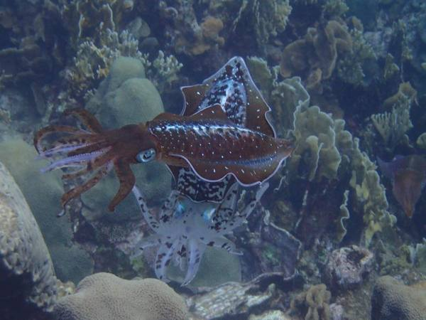 aruba-bobs-snorkelingsquid-shot-at-mangel-halto-visitaruba