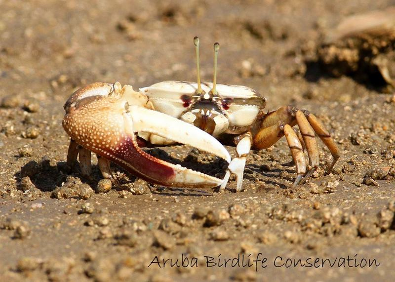 fiddler-crabs-photo-by-aruba-birdlife-conservation-mangroves-visitaruba-blog-800