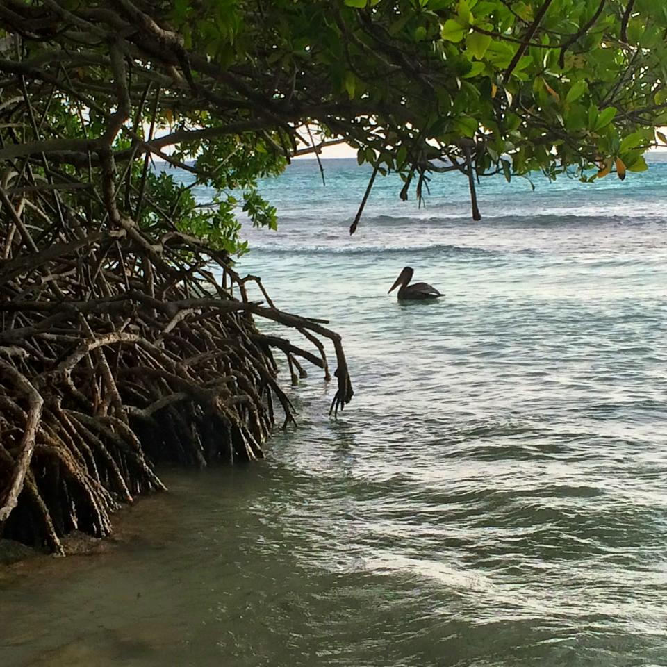pelican-mangel-halto-habitat-birdlife-aruba-conservation-marcella-janczewski-visitaruba-800
