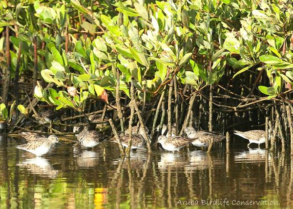 photo-by-aruba-birdlife-conservation-of-least-sandpipers-at-spanish-lagoon-visitaruba