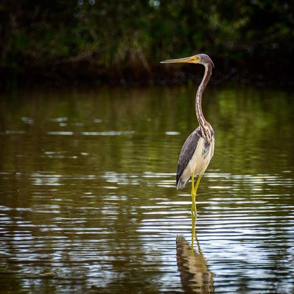 tricolored-heron-bird-wildlife-spaans-lagoen-aruba-by-rene-renelpix-visitaruba