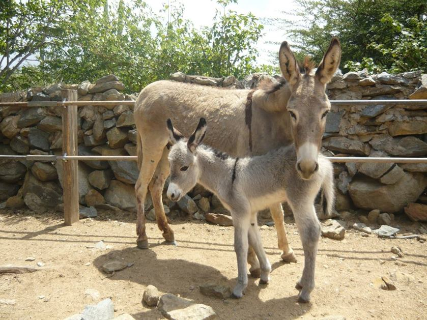 donkey-sanctuary-aruba-rescue-donkeys-photo-by-donkeysanctuaryaruba-visitaruba