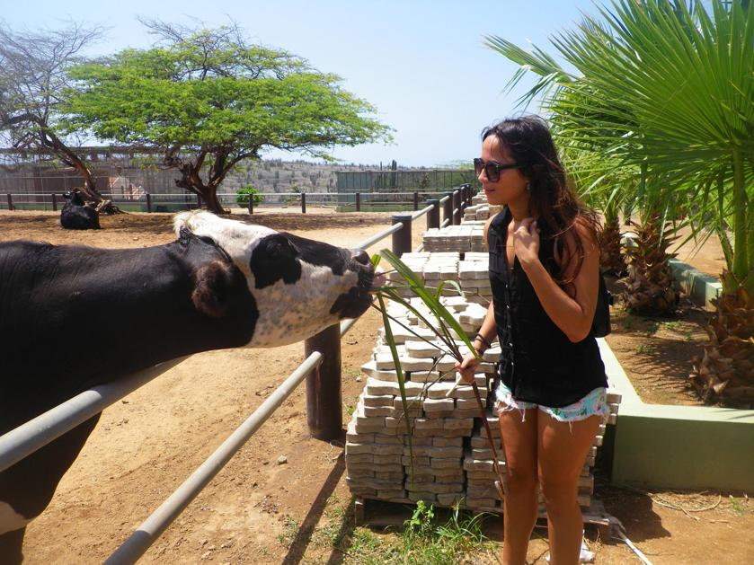 philips-animal-garden-aruba-feed-cow-photo-by-megan-rojer-visitaruba
