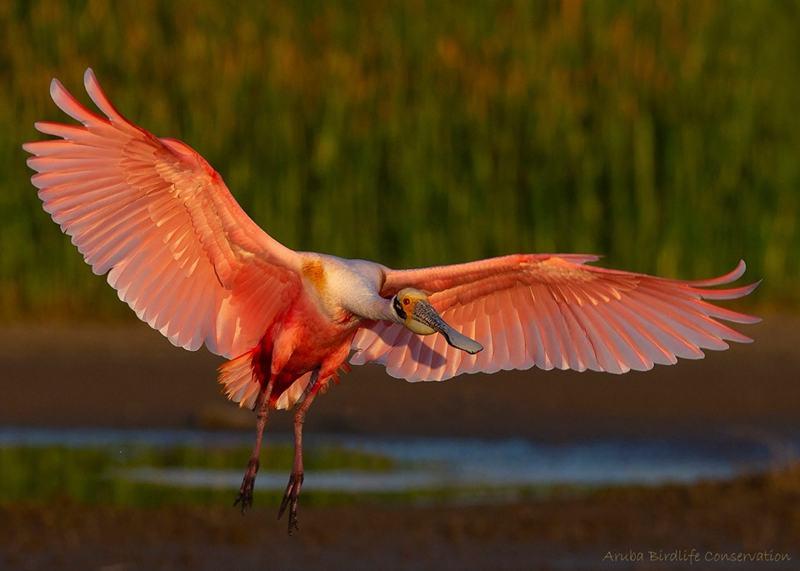 aruba-birdlife-conservation-at-bubali-plas-wetlands-preserves-sanctuary