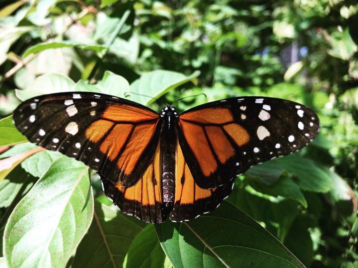photo by romidotnavia - monarch butterfly