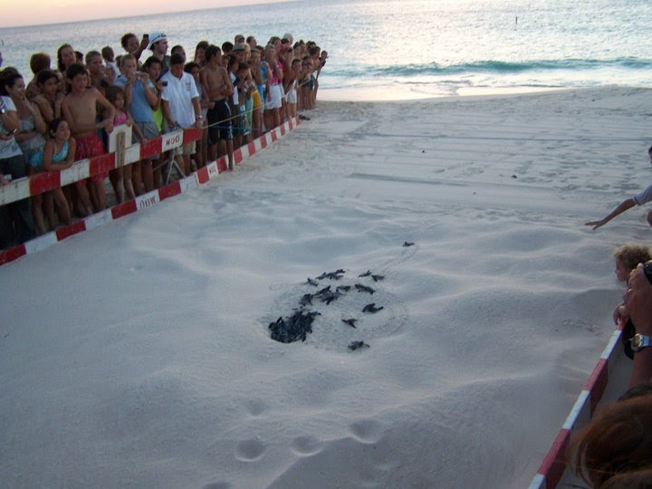 The first leatherback sea turtle was spotted on Eagle Beach Aruba