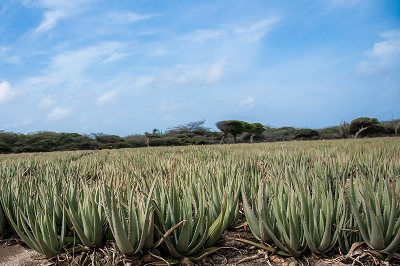 The Aruba Aloe plant offering fun and educational tours for locals and tourists