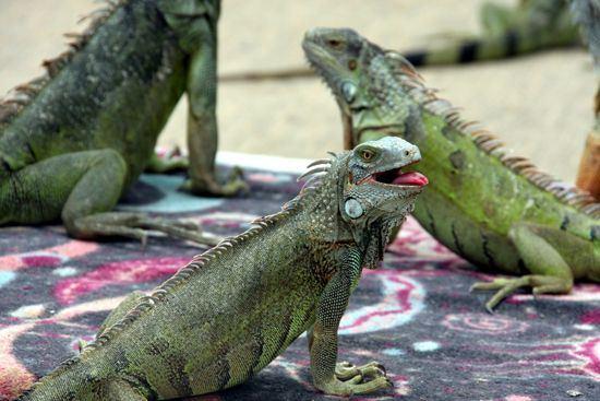 550x367-iguana-joes-aruba-visitaruba-visit-website-page-listing-contact-information-iguanas-restaurant-image.jpg