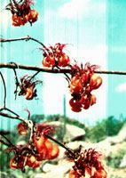 Palo Di Boonchi Flowers